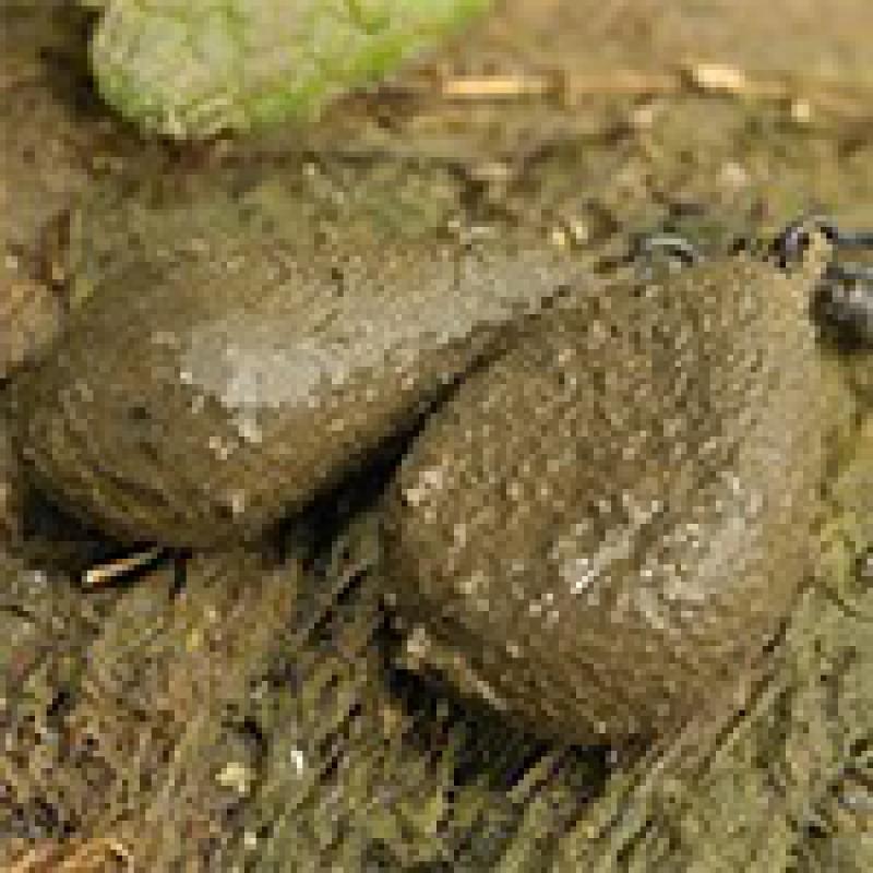 Svareliai Textured Flat Pear ir Distance