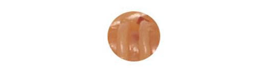 026 Brown Shrimp Red